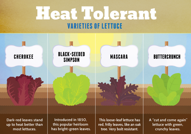 Heat Tolerant Lettuce | Growing Your Own Salad Greens