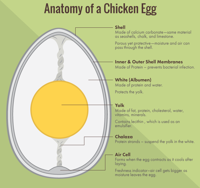 Egg Carton Labeling: The Anatomy of a Chicken Egg