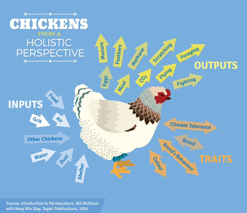 Raising Backyard Chickens: The Chicken From A Holistic Perspective