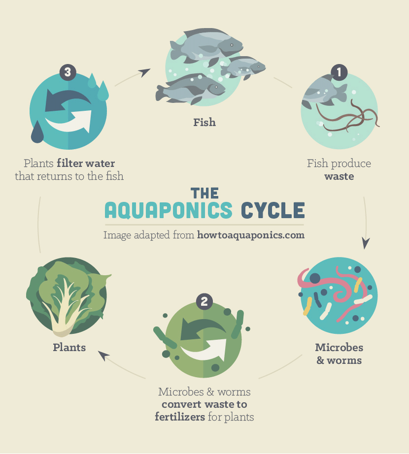 Aquaponics: The Cycle